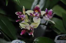 Phalaenopsis Sogo Gotris 'ES'