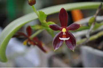 phalaenopsis cornu-cervi chattaladae