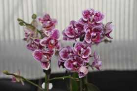 Phalaenopsis bouquet blanc moucheté grenat