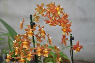 Cambria orange-colored chestnut