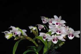 Dendrobium rhodopterygium var semi alba