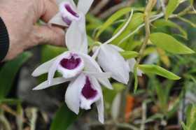 Dendrobium anosmum semis alba