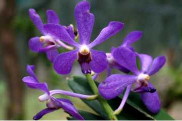 Aranda Jairak Blue (Vanda)