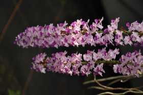 Rhynchostylis coelestris