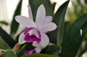 "Cattleya intermedia var Orlata ""Rio"""