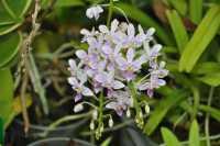 Phalaenopsis equestris apari