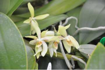 Phalaenopsis Austin Chow