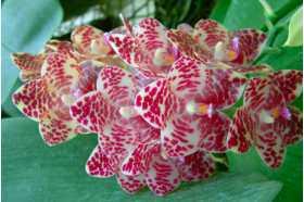 Phalaenopsis gigantea