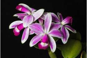 Cattleya violacea semi alba flamea