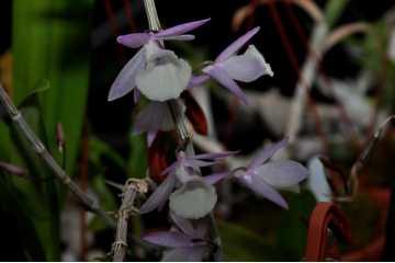 Dendrobium aphyllum (pierardii) Variegata