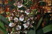Cambria brown with yellow border white label