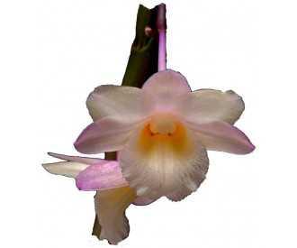Dendrobium lampongense