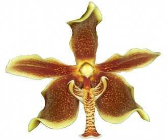 Paraphalaenopsis labukensis