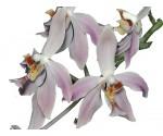 Paraphalaenopsis laycocki
