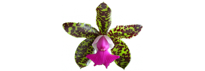 Cattleya y géneros aliados