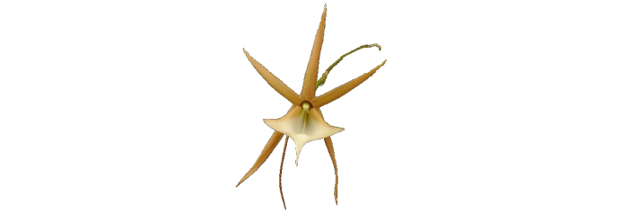 Angraecum, Aerangis, Aeranthes and related genera