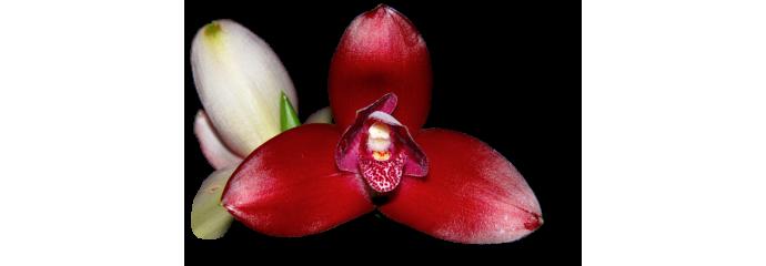 Anguloa, Lycaste, Bifrenaria, Neomoorea, Maxillaria y géneros aliados