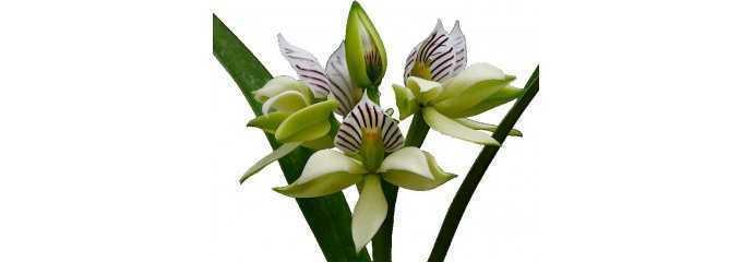 Encyclia, Epidendrum y géneros aliados