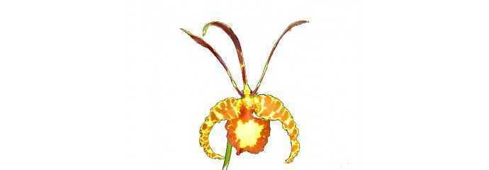 Odontoglossum, Oncidium, Brassia, Gomesa, Psychopsis y géneros aliados