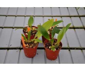 Bulbophyllum sumatranum x bataanense