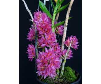 Dendrobium bracteosum DARK PINK