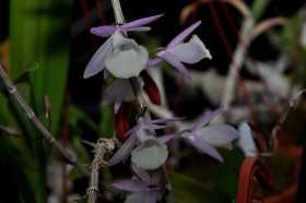 Dendrobium aphyllum (pierardii)