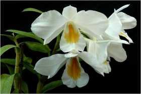 Dendrobium formosum