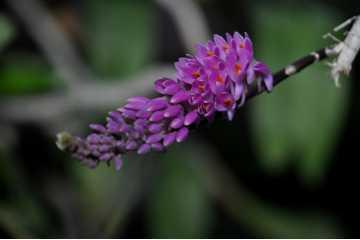 Dendrobium secundum