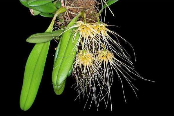phalaenopsis amboinensis x zebrina