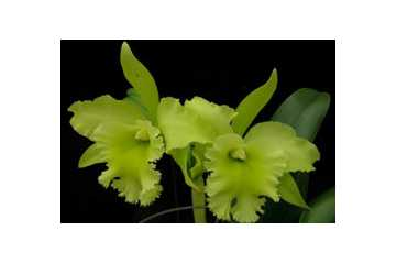 Cattleya Port of Paradise