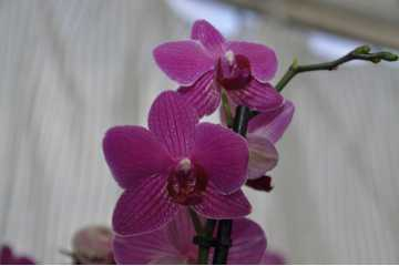 Phalaenopsis pink streaked orange white