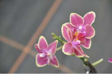 Phalaenopsis pink bouquet yellow border