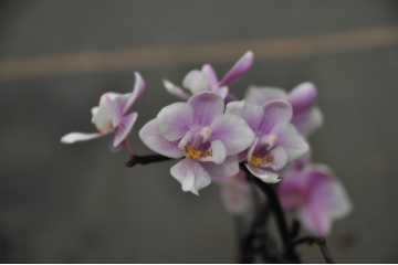 Phalaenopsis miniature pink and white
