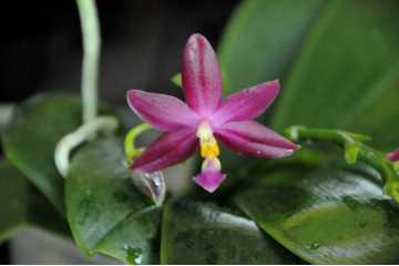 """Phalaenopsis Princess Kaiulani """"Red"""""""