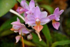 "Phalaenopsis Liu's Tiprince ""Pink"""