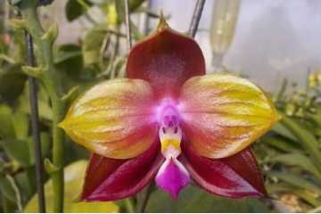 """Phalaenopsis LD's Bear King """"YK-10"""""""
