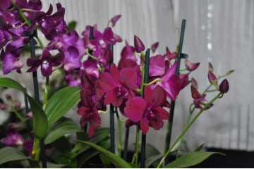 Dendrobium typifies phalaenopsis garnet