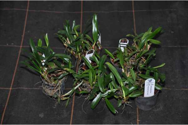 Bulbophyllum falcatum var red