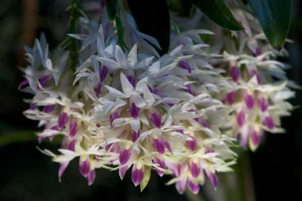 Dendrobium hercoglossum
