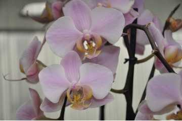 Phalaenopsis orange-colored pink