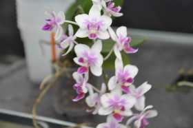 Dopritaenopsis white and pink