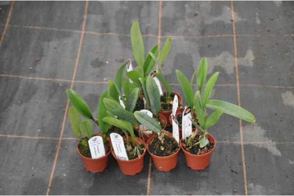 bulbophyllum rothschildanum