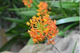 "Epidendrum ibaguense ""orange ballerina"""