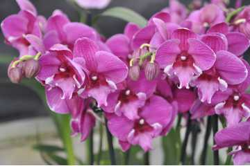 Phalaenopsis rose grand label