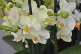 Phalaenopsis light yellow orange label bouquet
