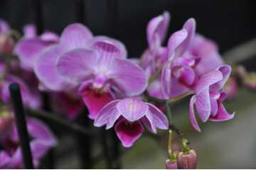 Phalaenopsis Streaked pink bouquet