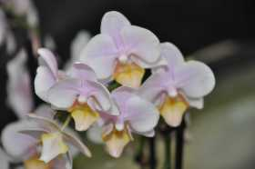 Phalaenopsis light pink yellow bouquet