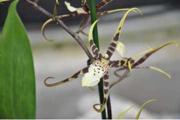 Spider Cambria