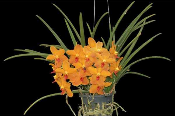 Ascocenda suksamram x Paraphalaenopsis denevei