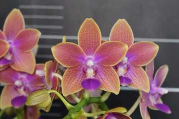 Phalaenopsis Miki Golden Sand